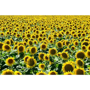 SUNFLOWER 'Giant Russian' - Boondie Seeds