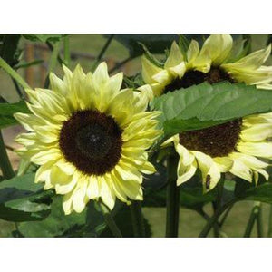 SUNFLOWER 'Lemon Rush'