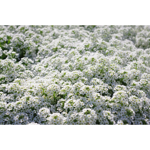 ALYSSUM / SWEET ALICE 'Carpet of Snow' seeds