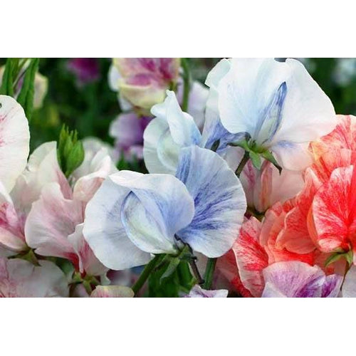SWEET PEA 'Blue Streamer' seeds