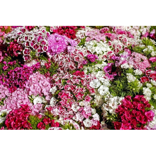 Dianthus / Pinks 'Dwarf Double Mixed' - Boondie Seeds