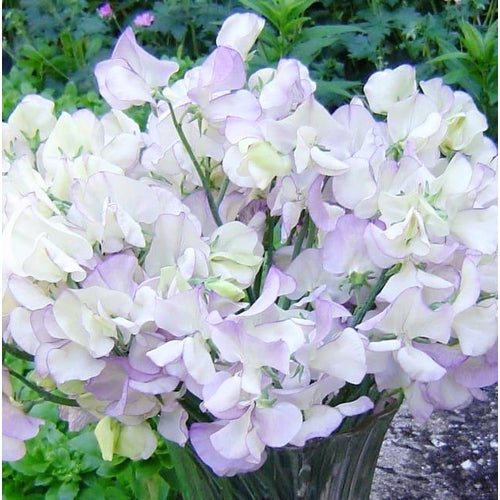 SWEET PEA 'High Scent'