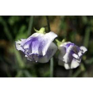 SWEET PEA 'Lavender Streamer' seeds