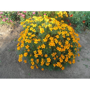 MEXICAN TARRAGON / SWEET MACE / MEXICAN MARIGOLD - Boondie Seeds
