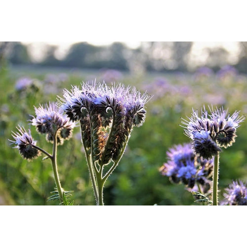 LACY PHACELIA / BLUE TANSY