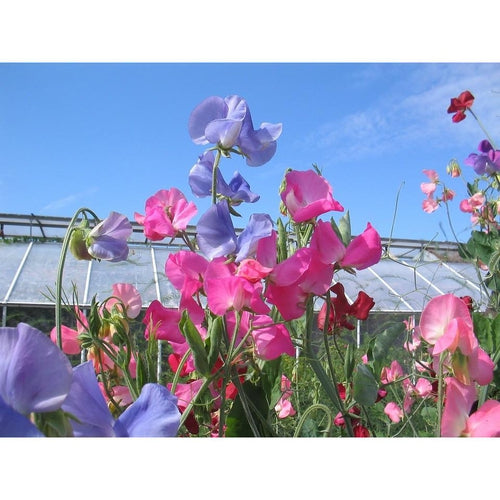 SWEET PEA 'Mix'