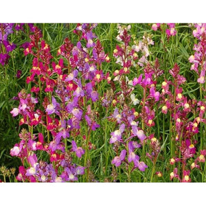 LINARIA /TOADFLAX 'Northern Lights Mix' - Boondie Seeds
