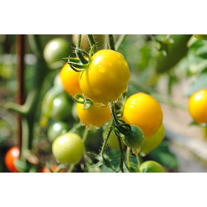 TOMATO 'Tomme Toe Yellow' - Boondie Seeds