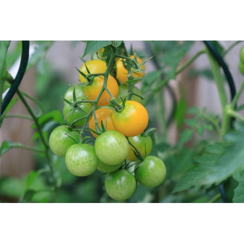 CHERRY TOMATO COLLECTION - 12 packets - Boondie Seeds
