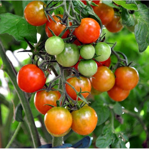 TOMATO 'Tiny Tim' - Boondie Seeds