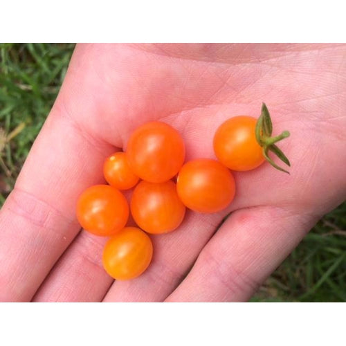 TOMATO 'Orange Current' ORGANIC