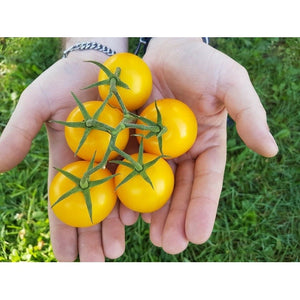 TOMATO 'Golden Sunrise' - Boondie Seeds