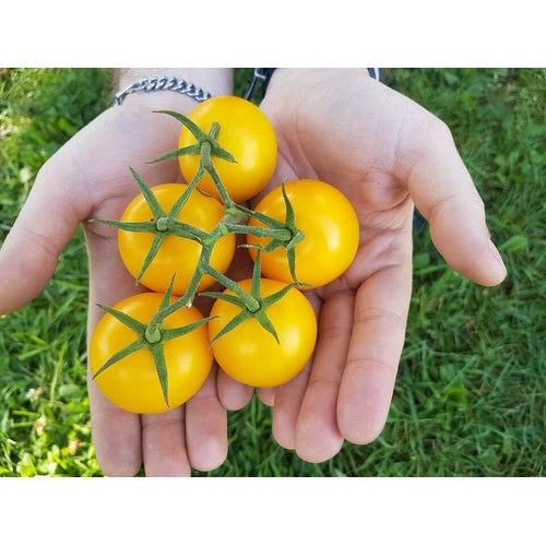 TOMATO 'Golden Sunrise'
