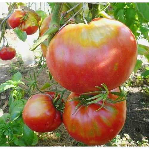 TOMATO 'Blue Ridge Mountain'
