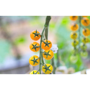 TOMATO 'Broad Ripple Yellow Current' - Boondie Seeds