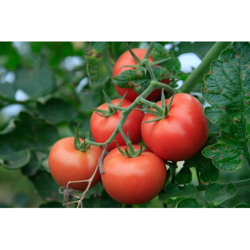 TOMATO 'Burnley Gem Bush'