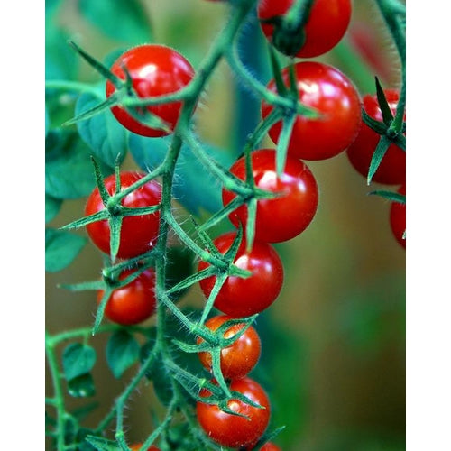 TOMATO 'Red Currant' - Boondie Seeds