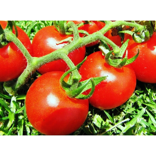 TOMATO COLOUR COLLECTION - 12 packets