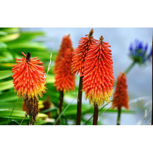RED HOT POLKA / TORCH LILY / Kniphofia uvaria - Boondie Seeds