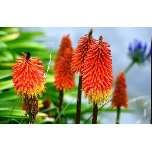 RED HOT POKER / TORCH LILY / Kniphofia uvaria