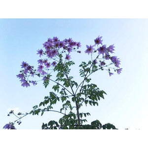 TREE DAHLIA cuttings - Boondie Seeds