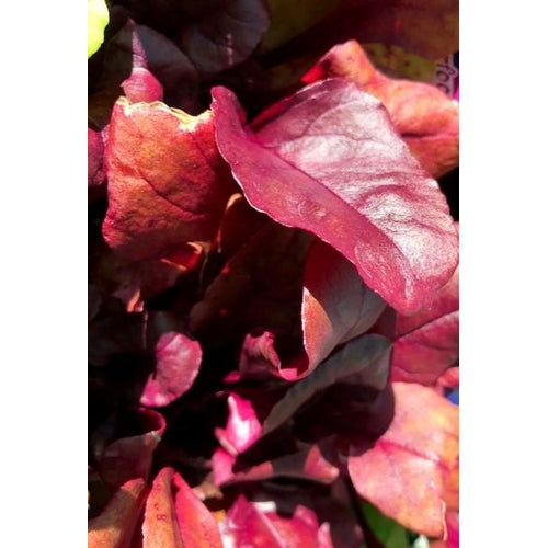 BEETROOT 'True Blood' - Boondie Seeds