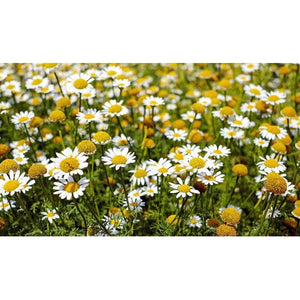 CHAMOMILE 'Roman' creeping / lawn - Boondie Seeds