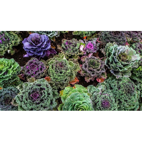ORNAMENTAL KALE 'Frilly Mix'