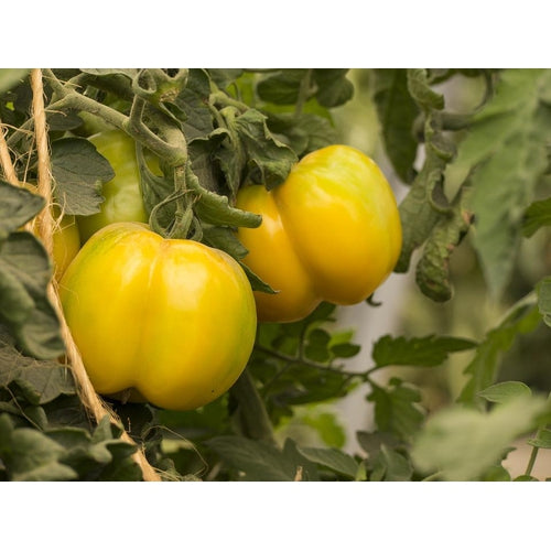 TOMATO 'Yellow Stuffer'
