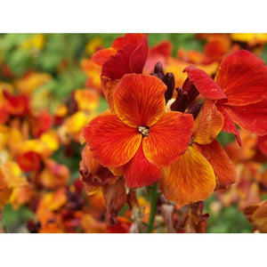 WALLFLOWER 'Fire King' - Boondie Seeds