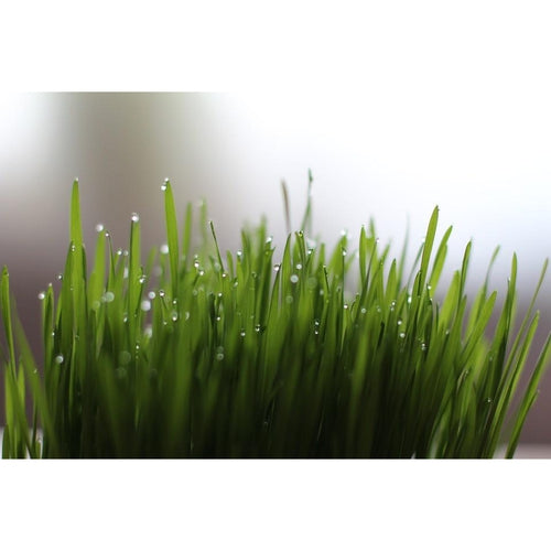 WHEATGRASS 250 grams / BULK