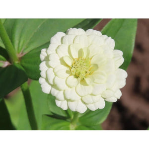 ZINNIA 'Lilliput White'