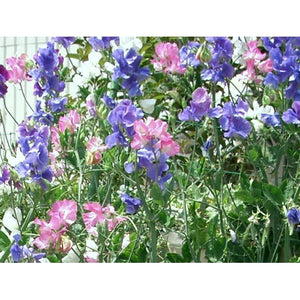 SWEET PEA 'Mammoth Mid Blue' - Boondie Seeds
