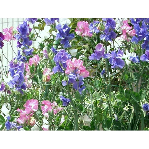 SWEET PEA 'Mammoth Mid Blue'