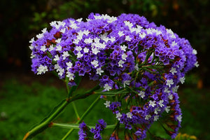 STATICE 'Purple Attraction' / SEA LAVENDER seeds