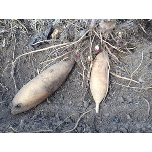 YACON / Peruvian Ground Apple - Rhizome / Plant - Boondie Seeds
