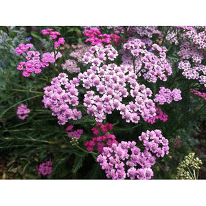 YARROW 'Red' / Cerise Queen - Boondie Seeds
