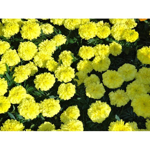 FRENCH MARIGOLD 'Lemon Drop' - Boondie Seeds