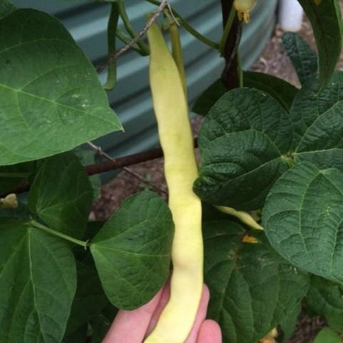 CLIMBING BEAN 'Wonder of Venice' - Boondie Seeds