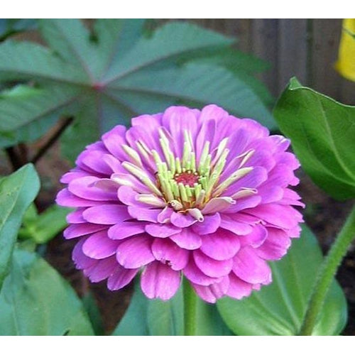ZINNIA 'Dream - Rosy Lavender'