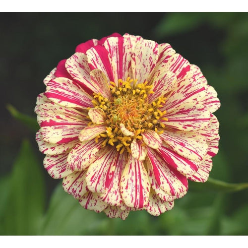 ZINNIA 'Peppermint Stick'