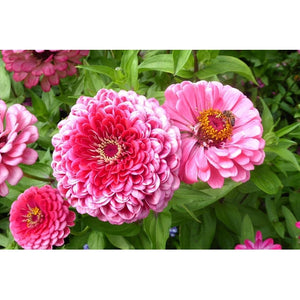 ZINNIA 'Luminosa Bright Pink' - Boondie Seeds