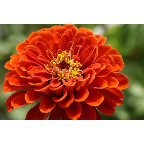 ZINNIA 'Lilliput Orange'