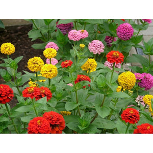 ZINNIA 'Lilliput Mix'