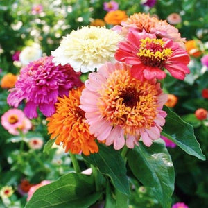 ZINNIA 'Scabiosa Flowered Mix' - Boondie Seeds