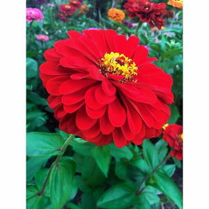 ZINNIA 'Cherry Queen' - Boondie Seeds