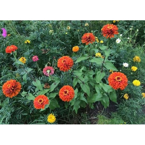 ZINNIA 'Lilliput Orange' - Boondie Seeds