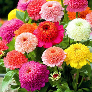 ZINNIA 'Scabiosa Flowered Mix'