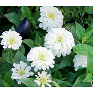 ZINNIA 'Polar Bear White' - Boondie Seeds