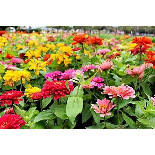 ZINNIA 'THUMBELINA DWARF MIX' seeds